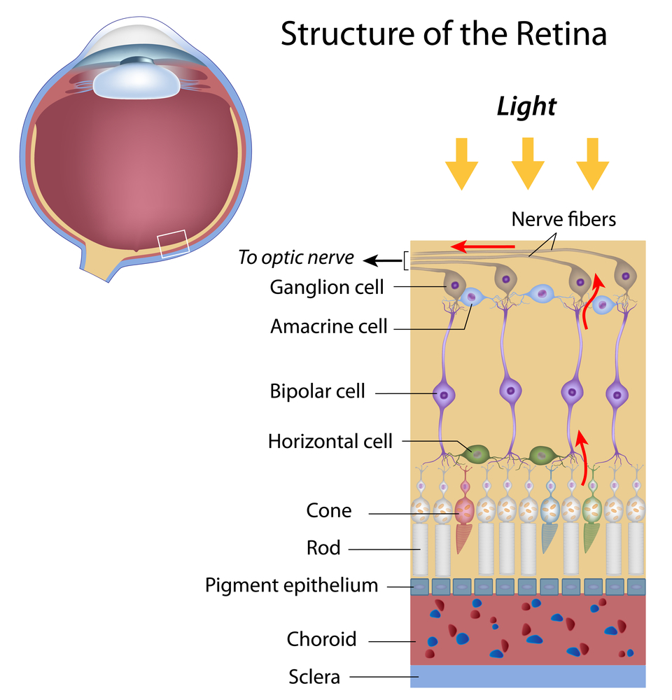The Optic Nerve And Its Visual Link To The Brain ...