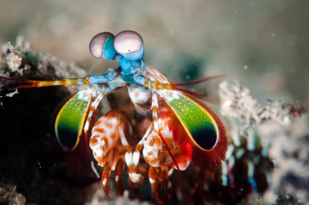 mantis shrimp - Discovery Eye Foundation